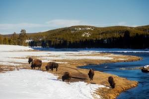 yellowstone-bisons